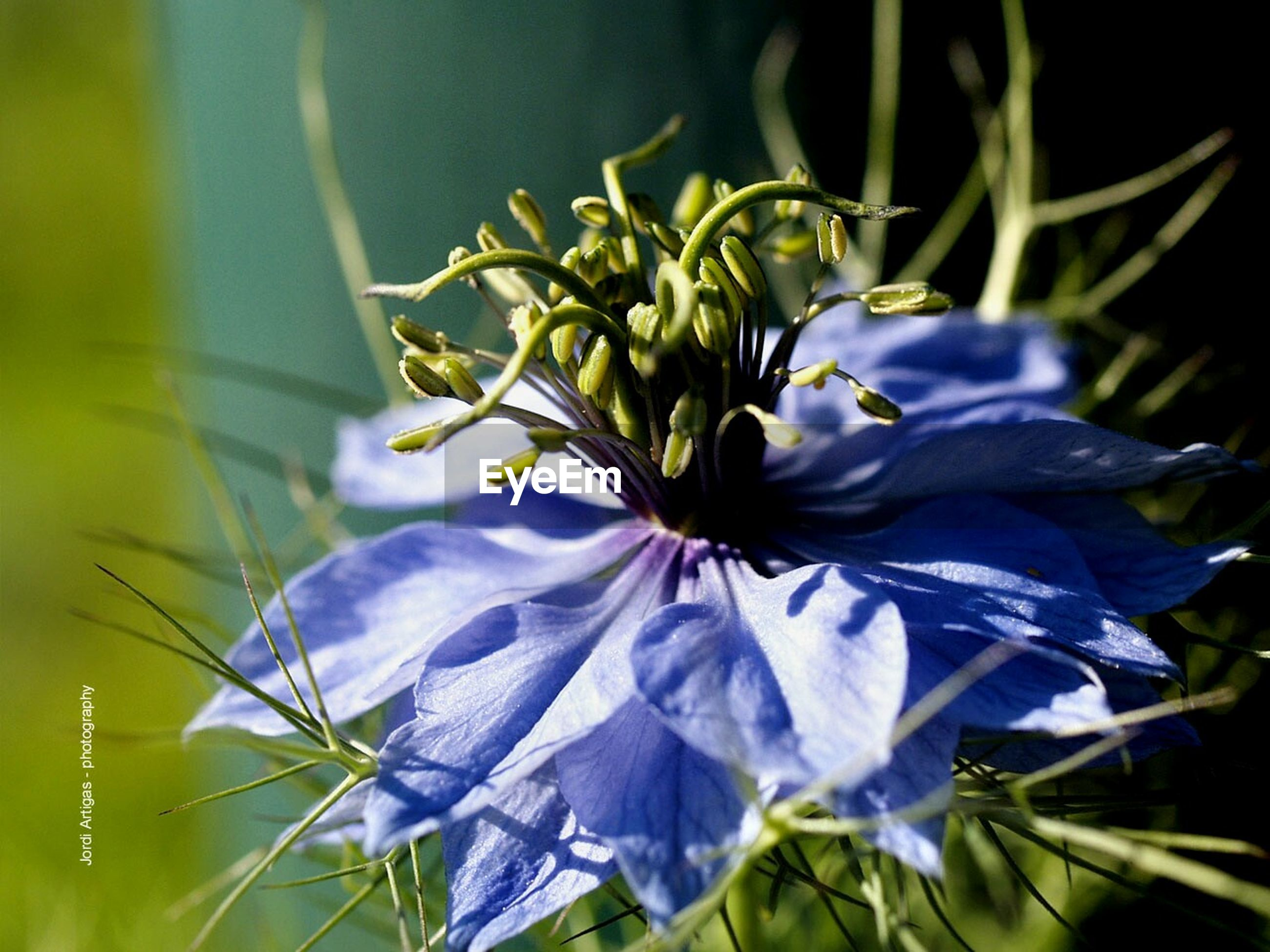 flower, freshness, fragility, petal, flower head, growth, close-up, purple, beauty in nature, focus on foreground, nature, blooming, plant, blue, leaf, in bloom, blossom, stamen, day, outdoors