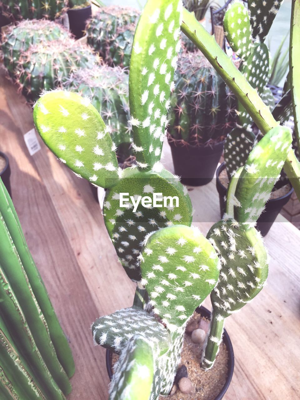 succulent plant, cactus, green color, growth, plant, no people, nature, potted plant, close-up, beauty in nature, day, table, high angle view, outdoors, natural pattern, spiked, thorn, pattern, focus on foreground, spotted, houseplant