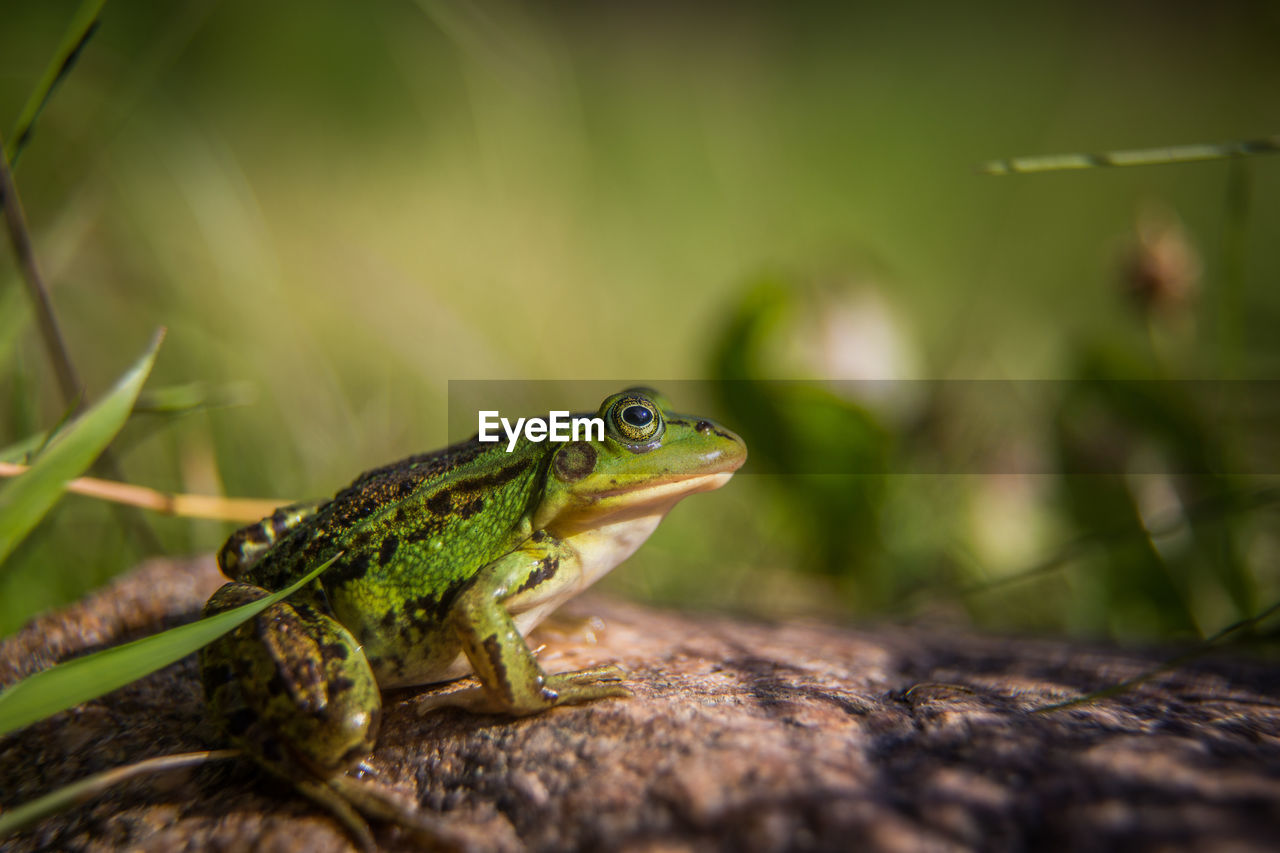 animal themes, animal, one animal, animals in the wild, animal wildlife, green color, vertebrate, lizard, reptile, selective focus, close-up, no people, day, nature, wood - material, focus on foreground, outdoors, looking, amphibian, side view