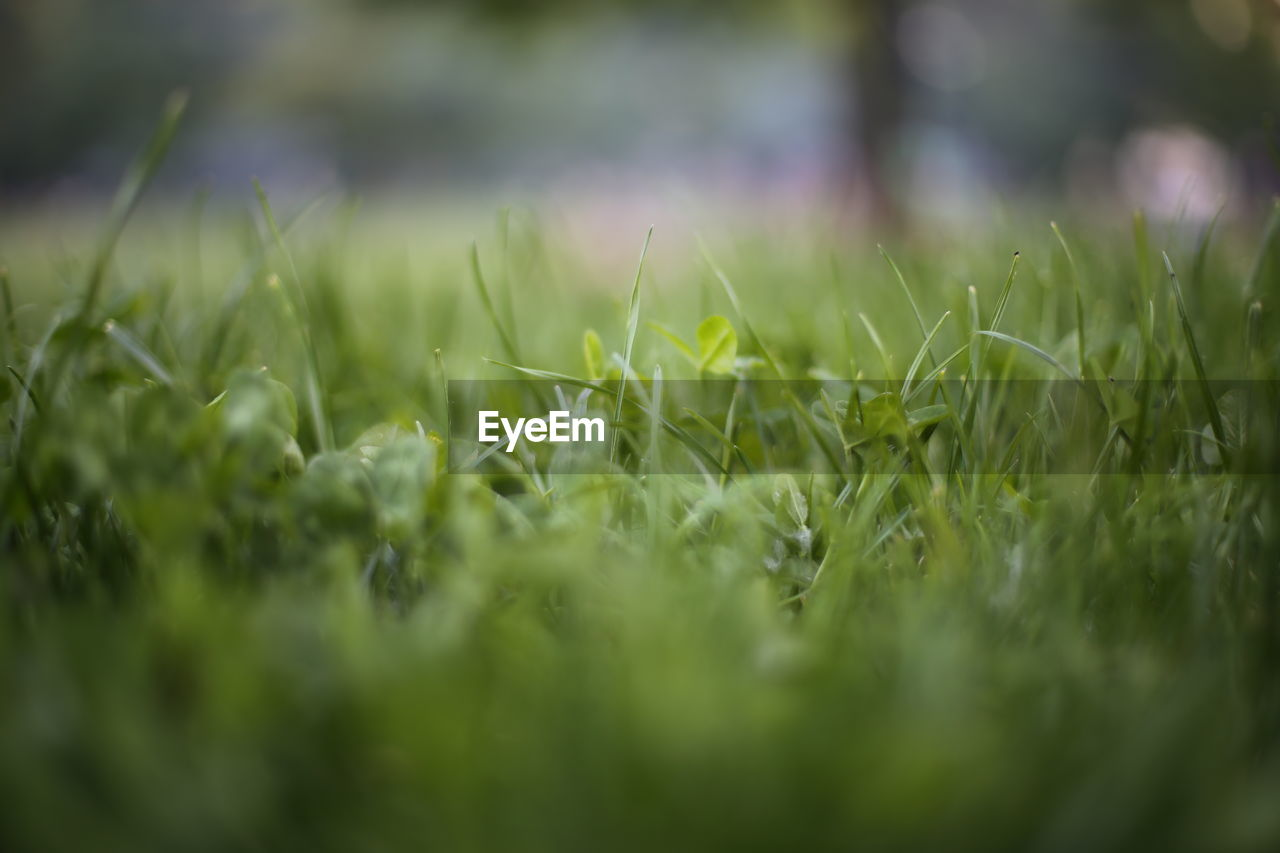 CLOSE-UP OF GRASSY FIELD AGAINST BLURRED BACKGROUND