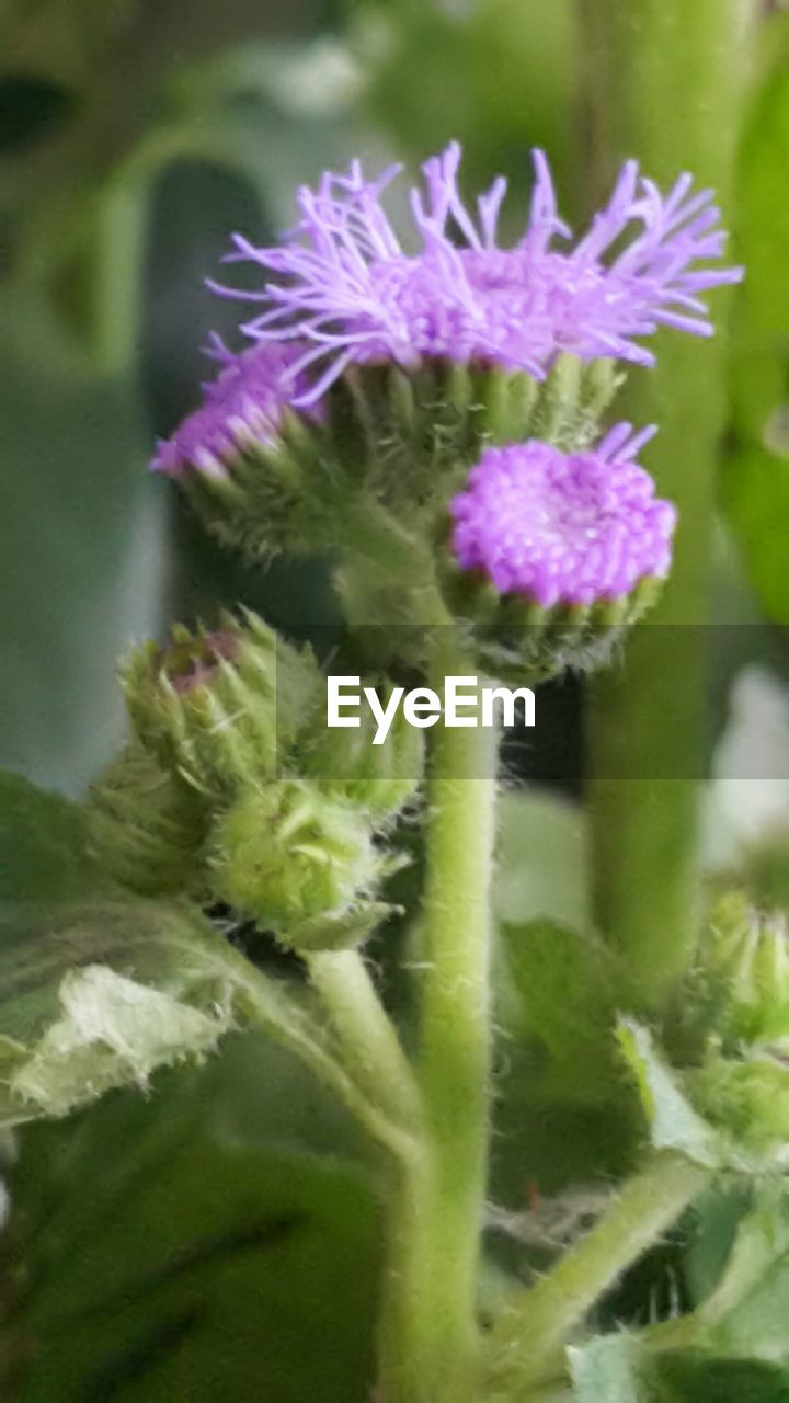 flower, fragility, purple, nature, growth, freshness, close-up, plant, no people, day, green color, beauty in nature, focus on foreground, flower head, outdoors, thistle, passion flower