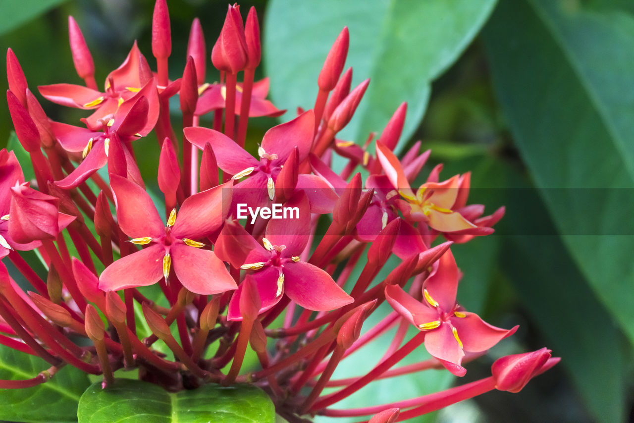 growth, petal, beauty in nature, ixora, nature, flower, fragility, flower head, plant, freshness, day, outdoors, close-up, red, blooming, no people