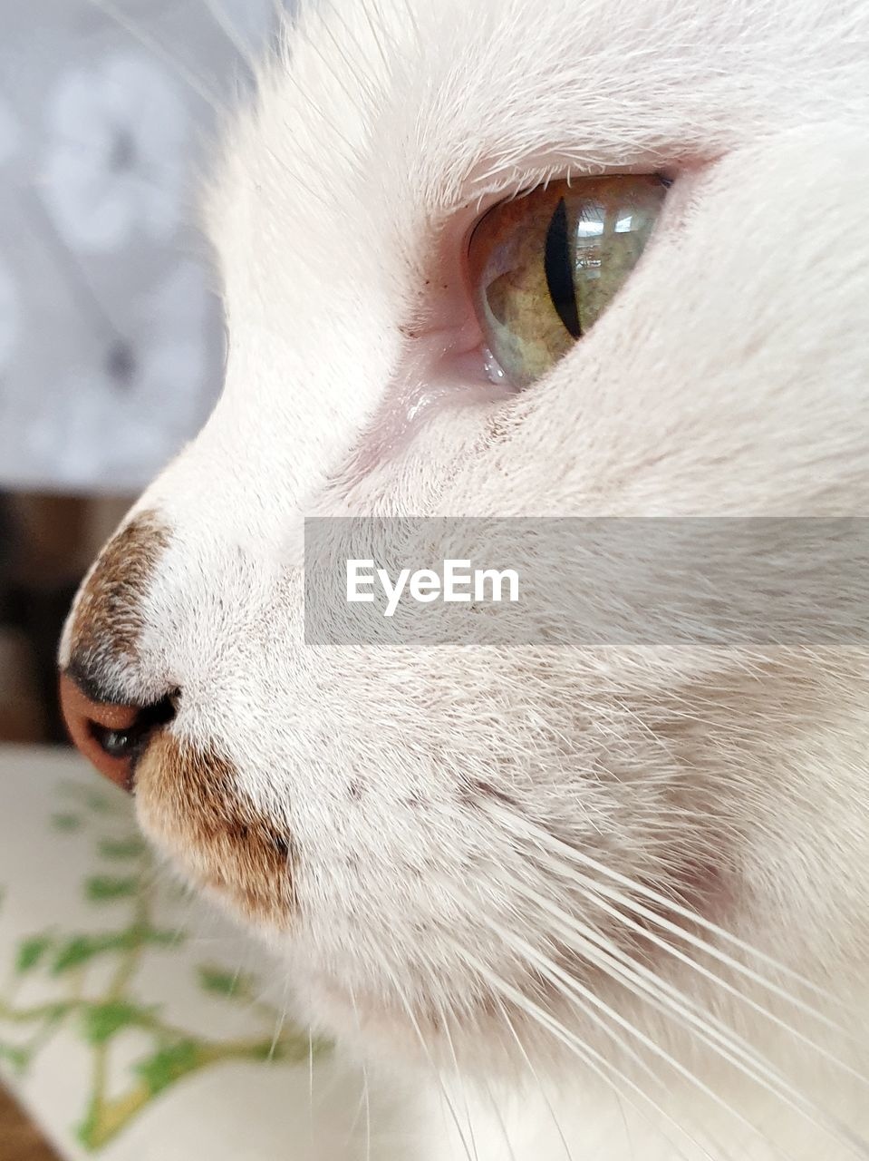 domestic, pets, domestic animals, one animal, domestic cat, cat, mammal, feline, animal, animal themes, vertebrate, close-up, animal body part, white color, animal head, no people, whisker, looking, focus on foreground, looking away, animal eye, animal nose, snout