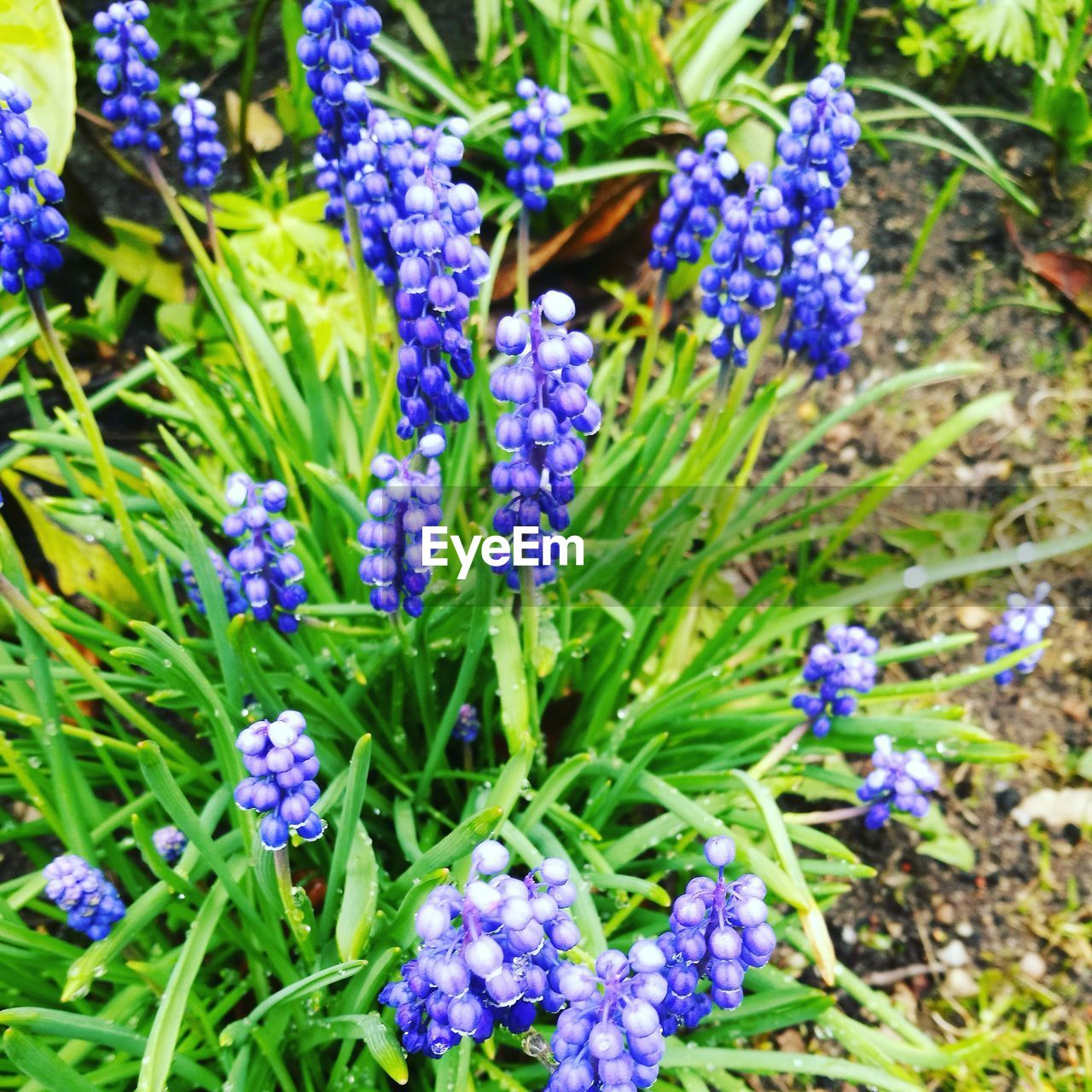 flower, purple, beauty in nature, nature, growth, plant, fragility, green color, botany, freshness, day, outdoors, field, no people, petal, sunlight, blue, flower head, hyacinth, close-up, blooming