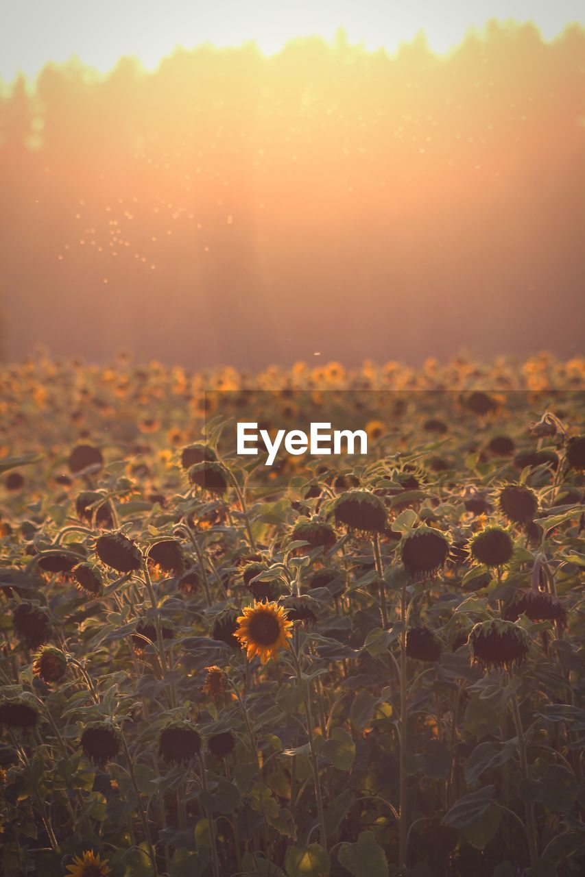 sunset, beauty in nature, plant, orange color, sky, nature, tranquility, fragility, sunlight, growth, no people, sun, vulnerability, scenics - nature, close-up, flower, flowering plant, freshness, land, tranquil scene, outdoors, lens flare, flower head