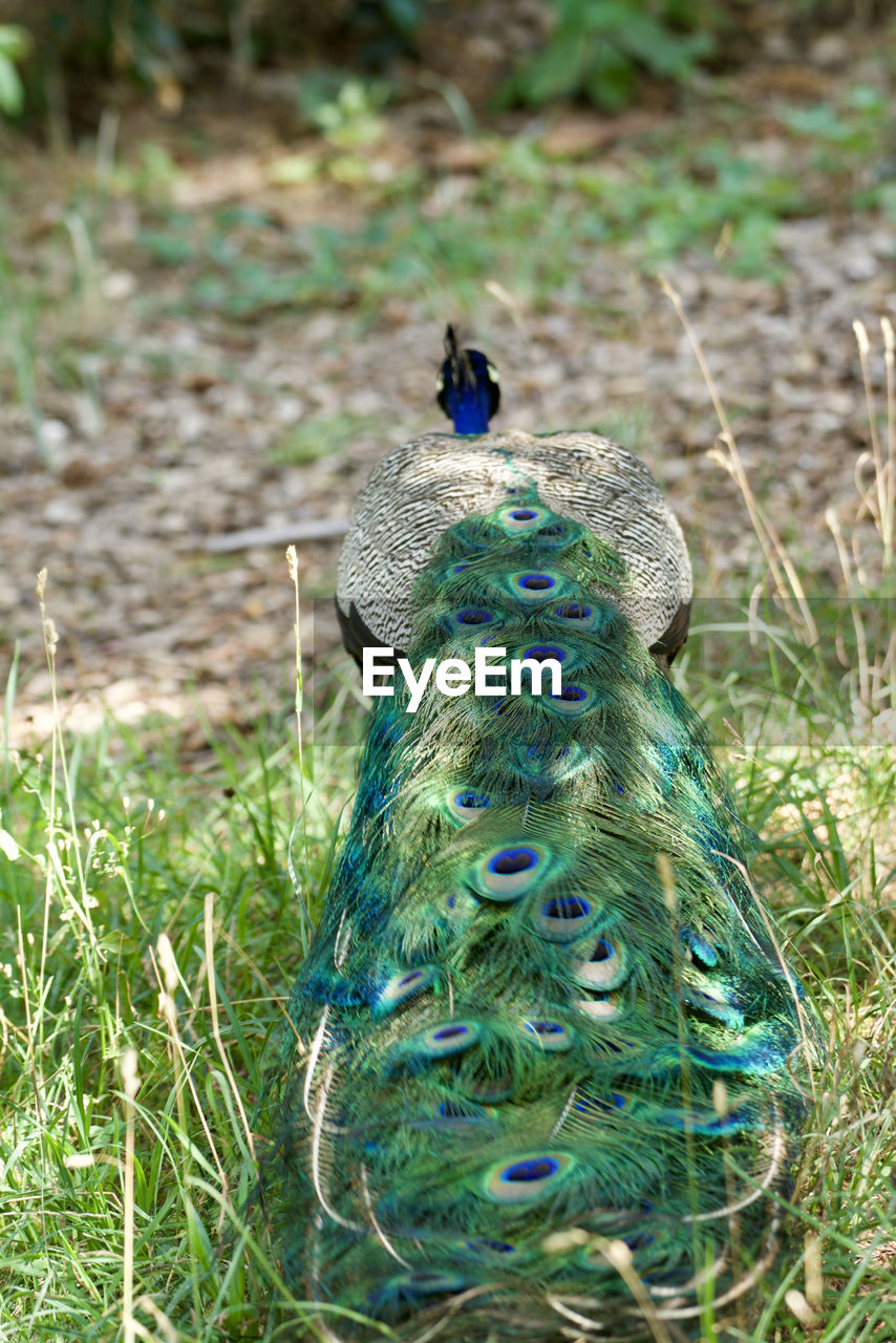peacock, animals in the wild, animal wildlife, animal themes, bird, grass, animal, vertebrate, one animal, plant, field, day, land, nature, green color, blue, no people, beauty in nature, feather, outdoors, animal head