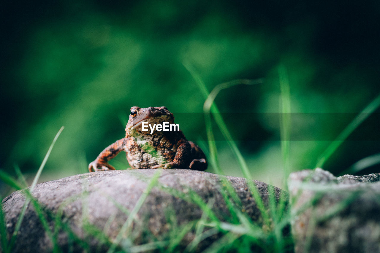 animal themes, animal, one animal, animal wildlife, selective focus, vertebrate, animals in the wild, green color, nature, no people, frog, amphibian, rock, outdoors, day, sitting, plant, close-up, rock - object, solid