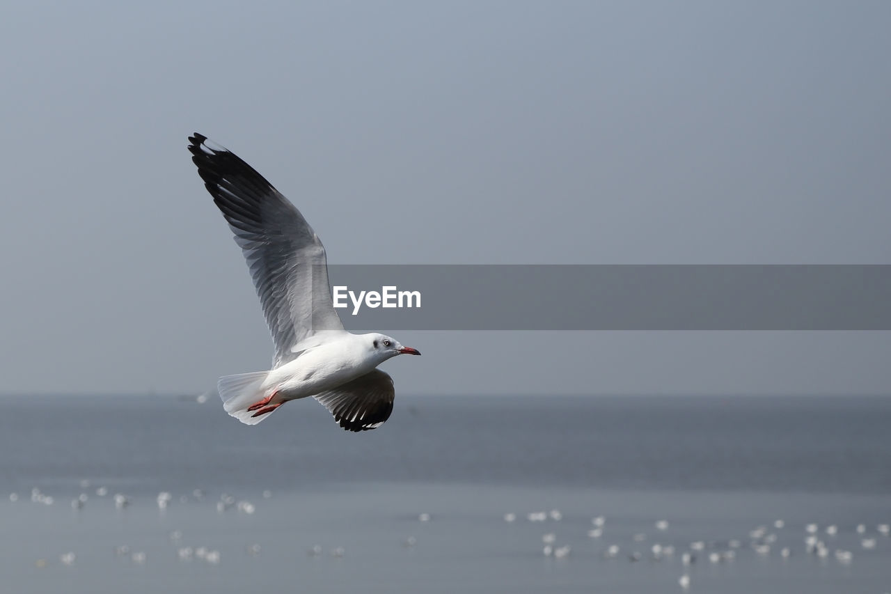 bird, vertebrate, animal themes, animal wildlife, animals in the wild, flying, animal, water, sea, sky, spread wings, one animal, mid-air, seagull, horizon over water, beauty in nature, nature, horizon, motion, no people, outdoors, marine