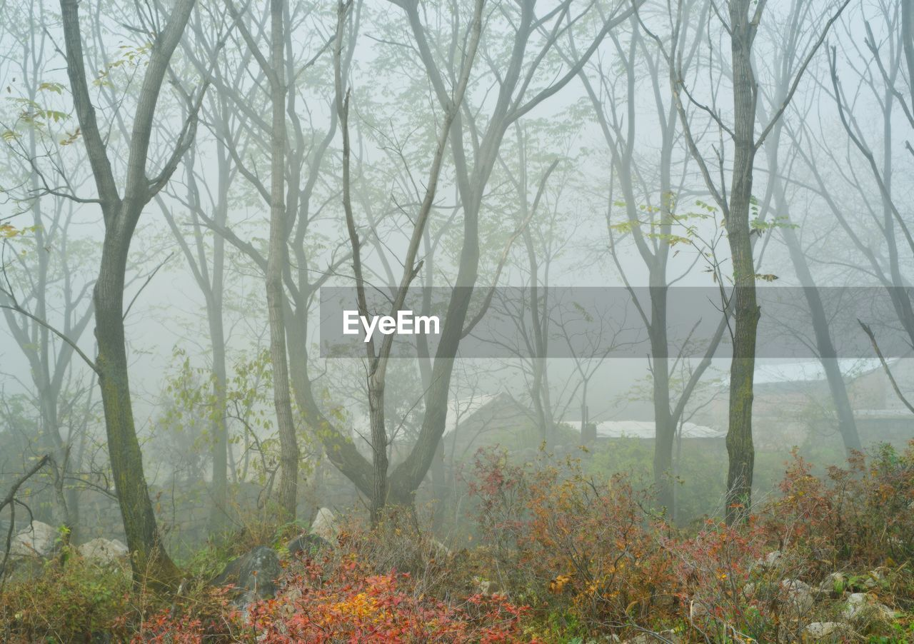 tree, nature, autumn, forest, leaf, scenics, outdoors, fog, day, no people, plant, beauty in nature, branch, landscape, bare tree