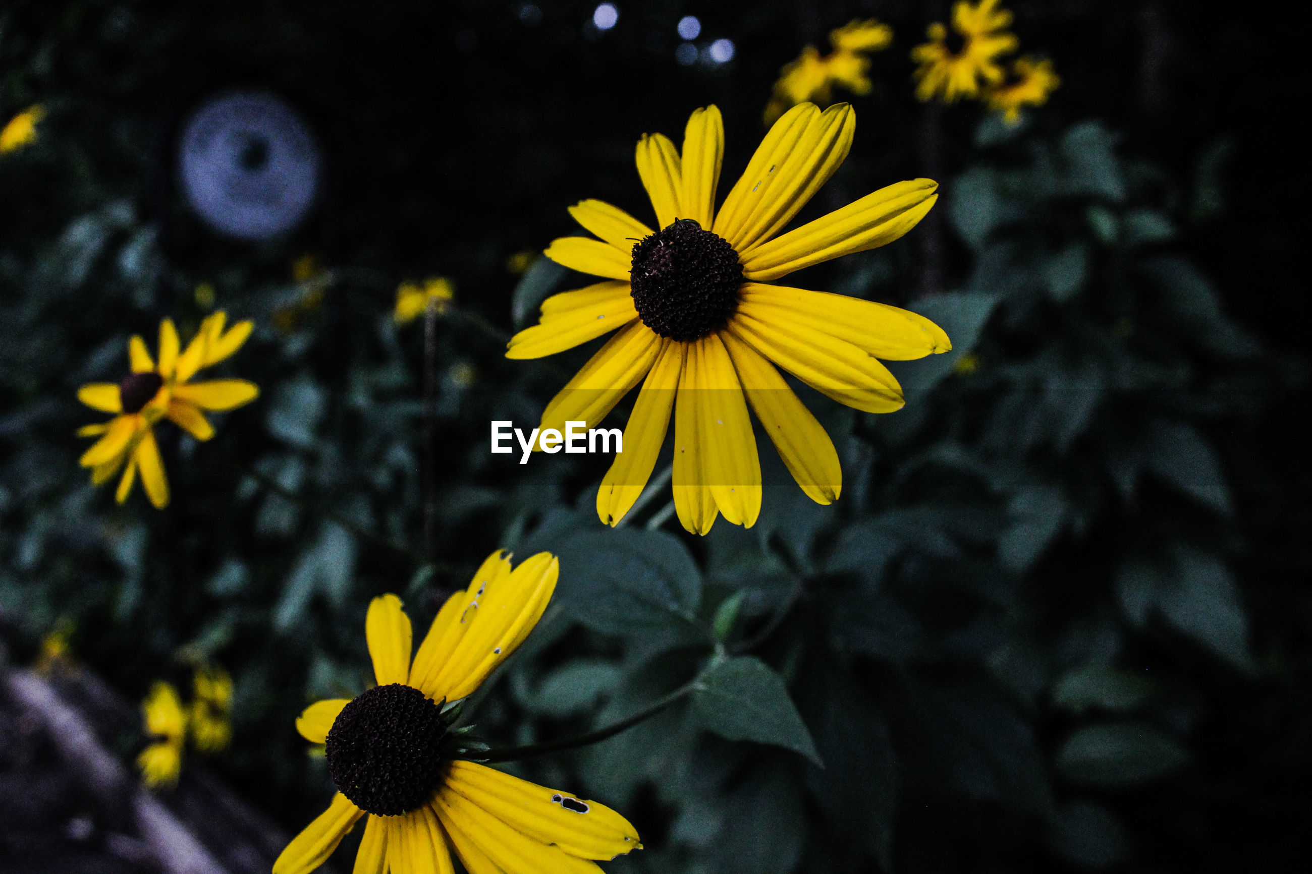 flower, petal, yellow, fragility, flower head, freshness, beauty in nature, growth, nature, plant, blooming, pollen, black-eyed susan, focus on foreground, no people, day, close-up, outdoors