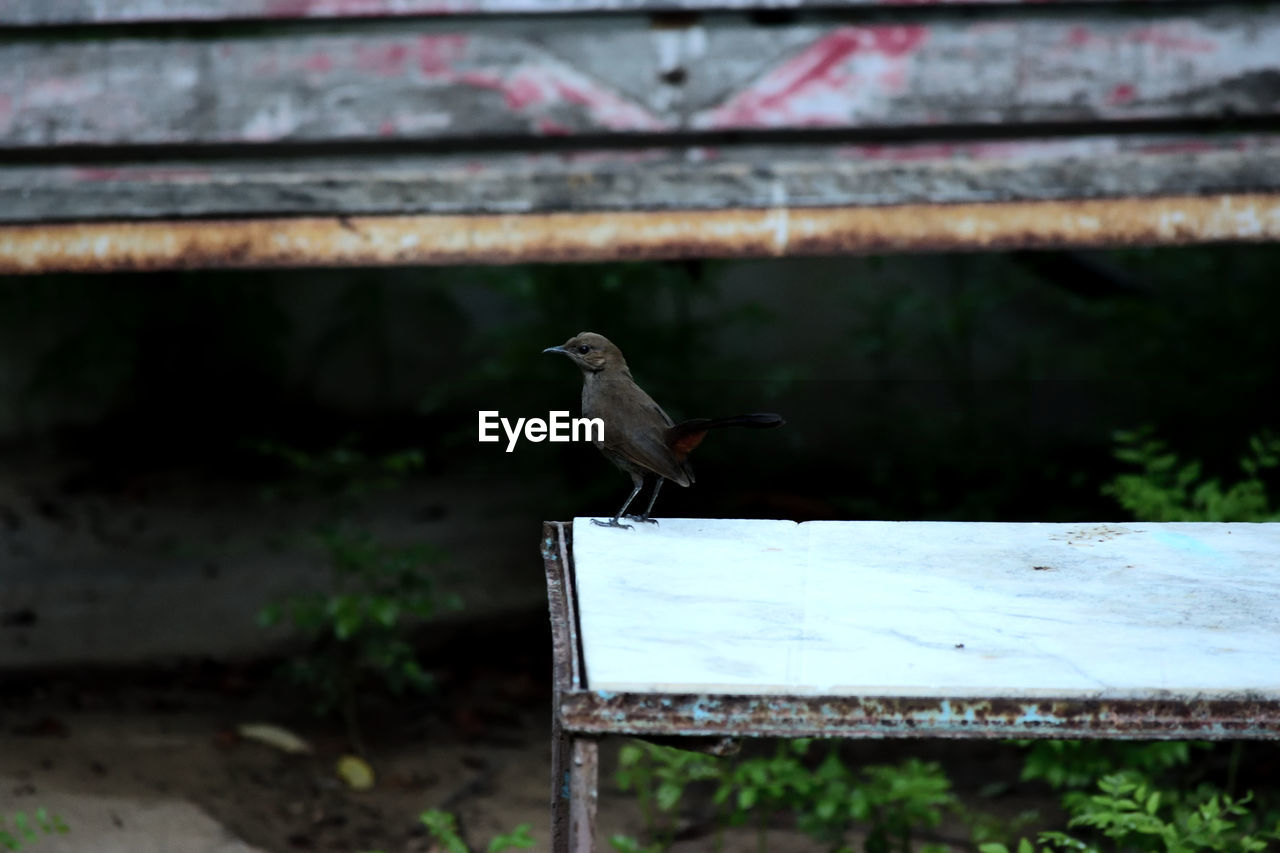 High Angle View Of Indian Robin Perching On Rusty Table