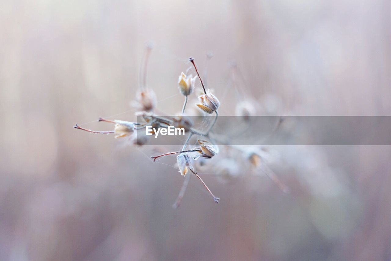 close-up, fragility, selective focus, nature, day, vulnerability, no people, beauty in nature, focus on foreground, plant, flower, tranquility, outdoors, white color, flowering plant, growth, dry, freshness, plant stem, wilted plant
