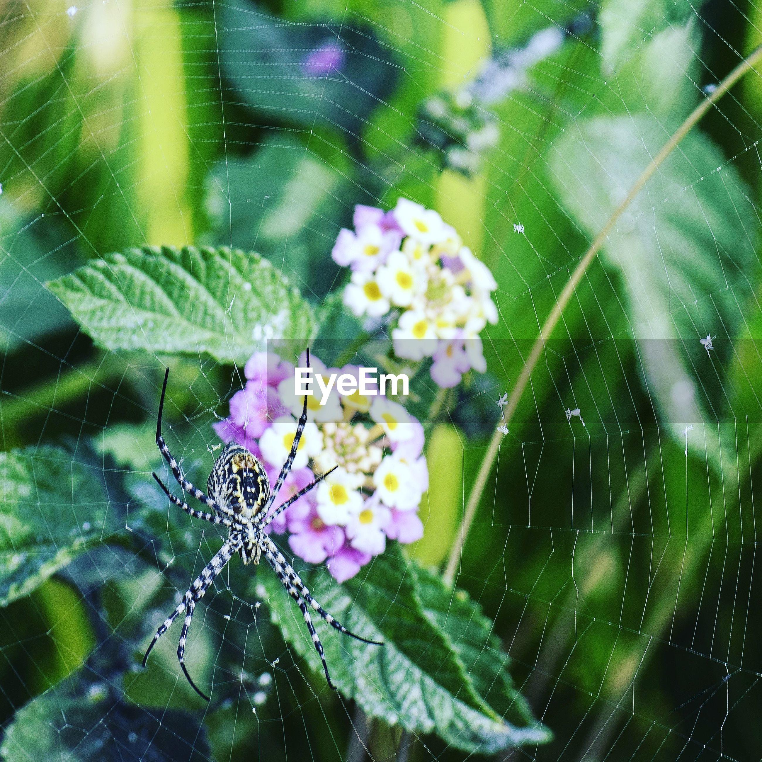 Close-up of spider on web against lantana camaras