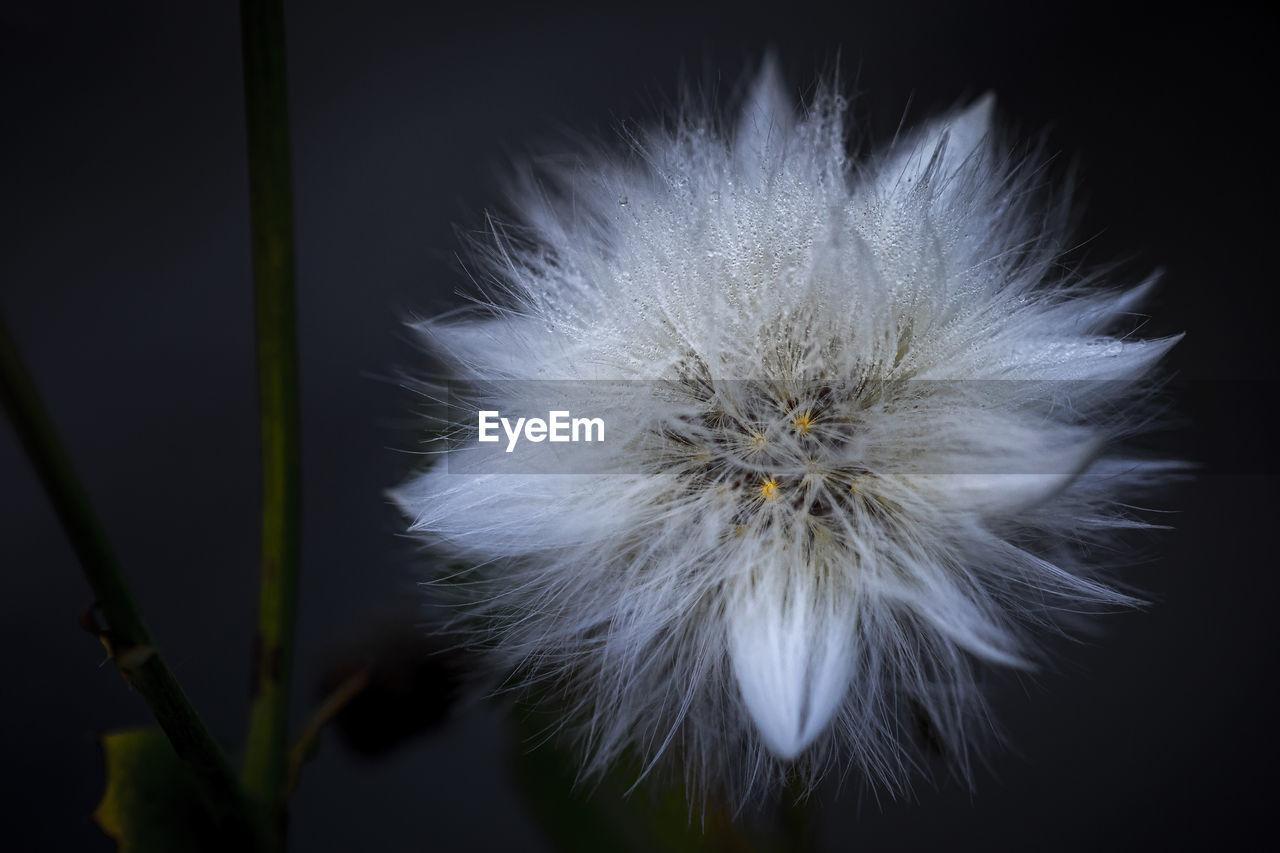 CLOSE-UP OF DANDELION ON WHITE FLOWER