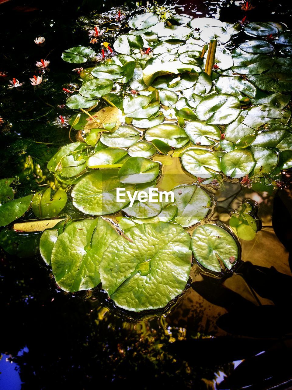 plant, green color, growth, water, plant part, leaf, nature, beauty in nature, no people, day, flower, freshness, high angle view, lake, close-up, outdoors, tree, sunlight, flowering plant, floating on water, leaves