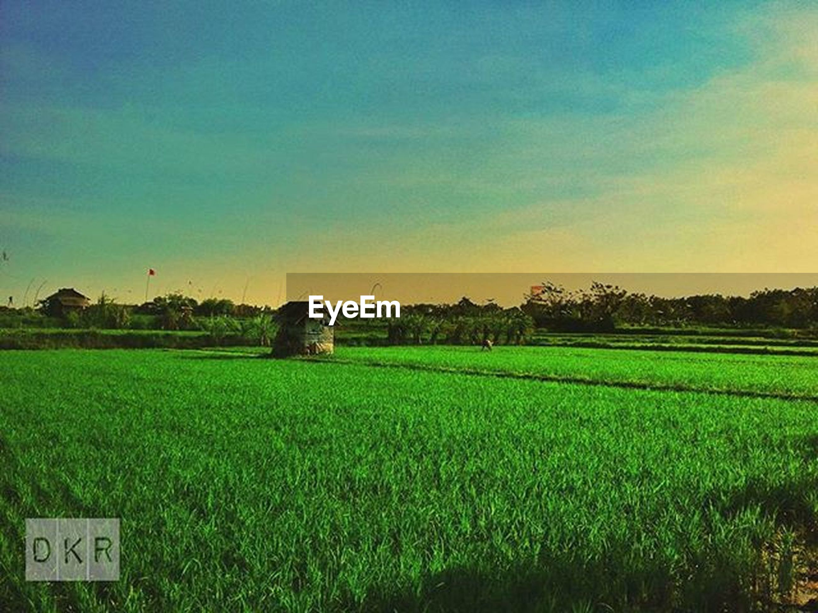 field, landscape, rural scene, agriculture, grass, tranquil scene, farm, tranquility, crop, sky, scenics, beauty in nature, growth, nature, cultivated land, sunset, grassy, green color, harvesting, idyllic