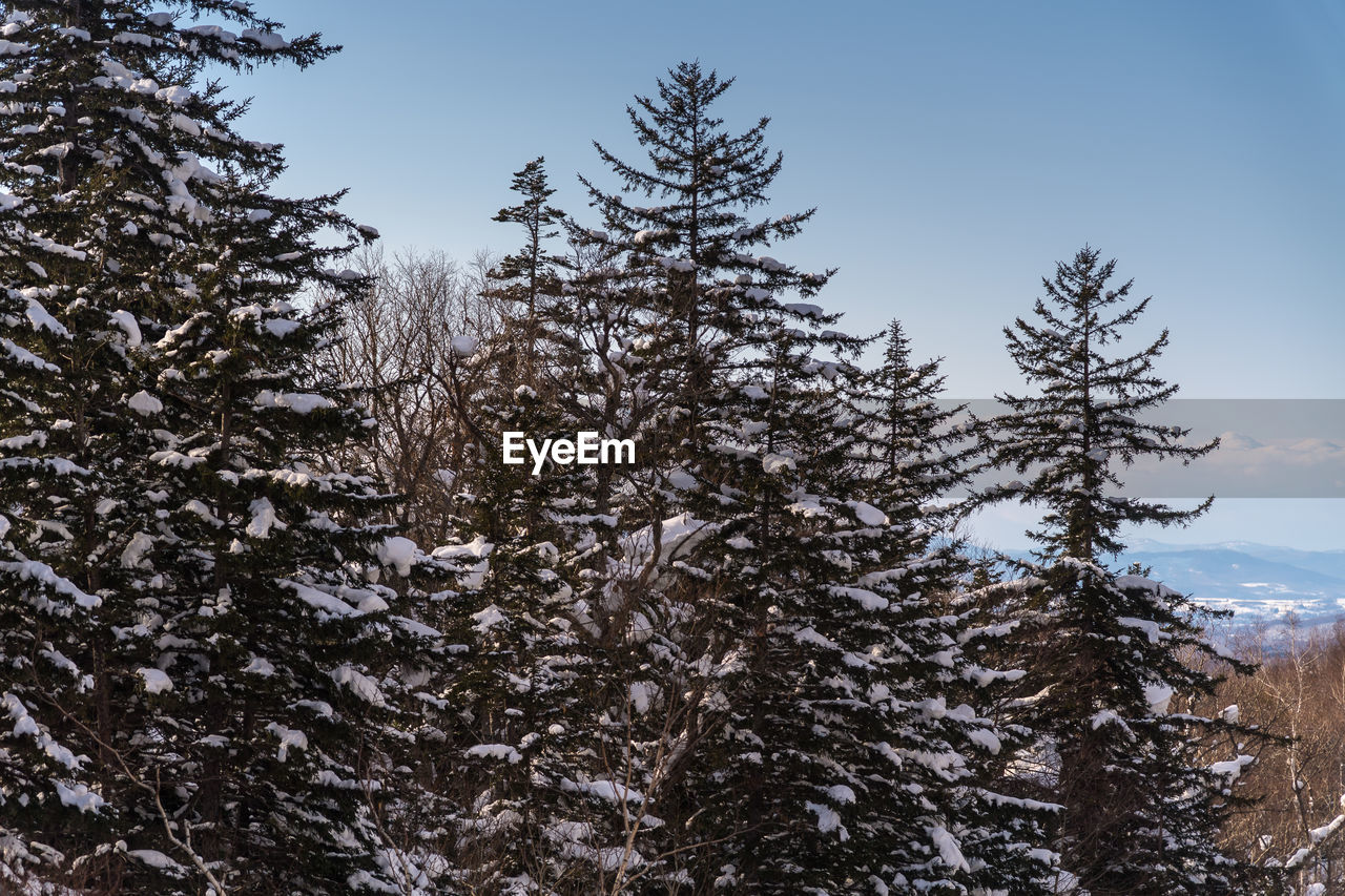 tree, plant, sky, winter, snow, cold temperature, beauty in nature, tranquility, growth, nature, no people, day, low angle view, tranquil scene, pine tree, non-urban scene, coniferous tree, outdoors, frozen, fir tree