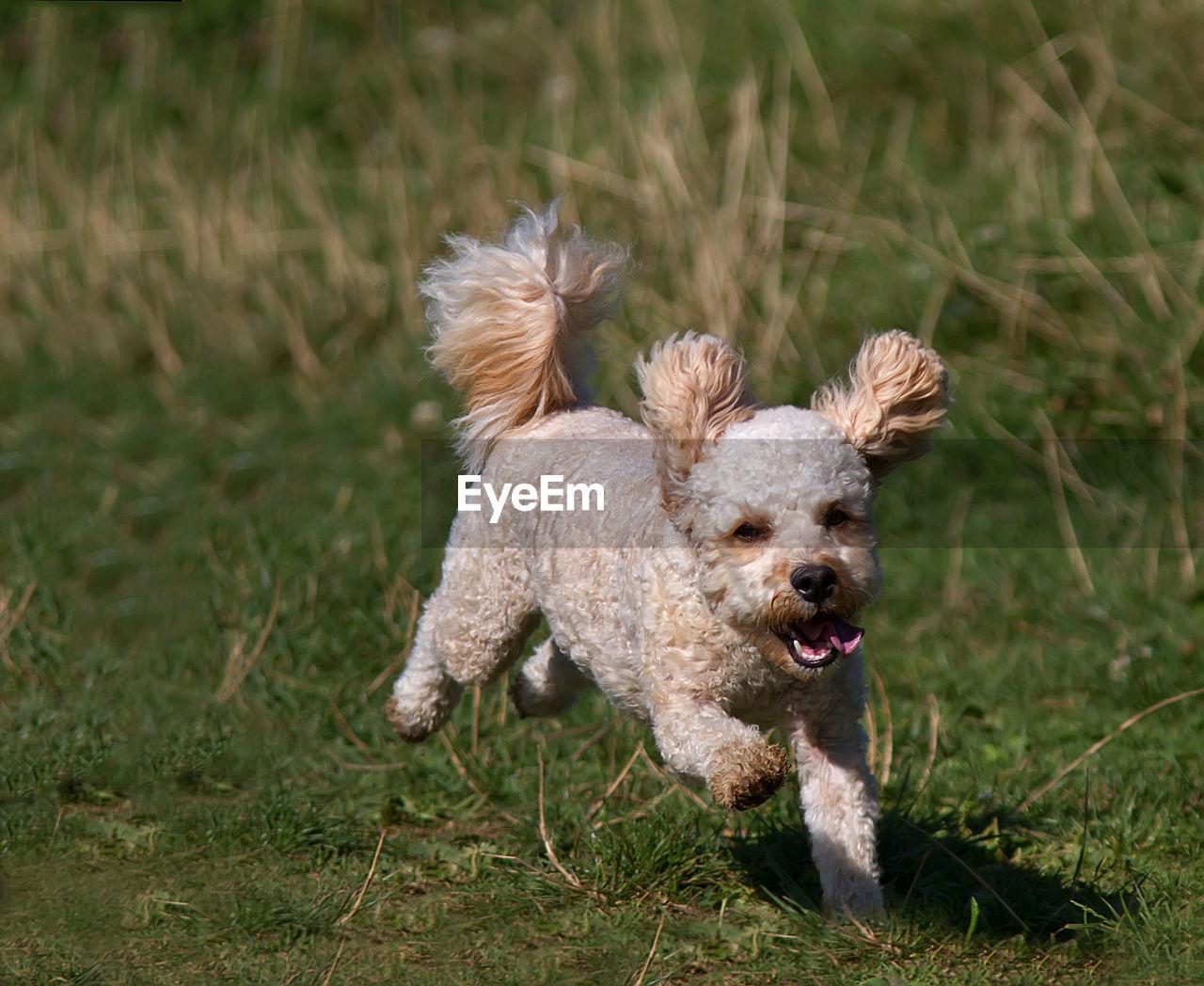 Full Length Of Puppy Running On Grassy Field