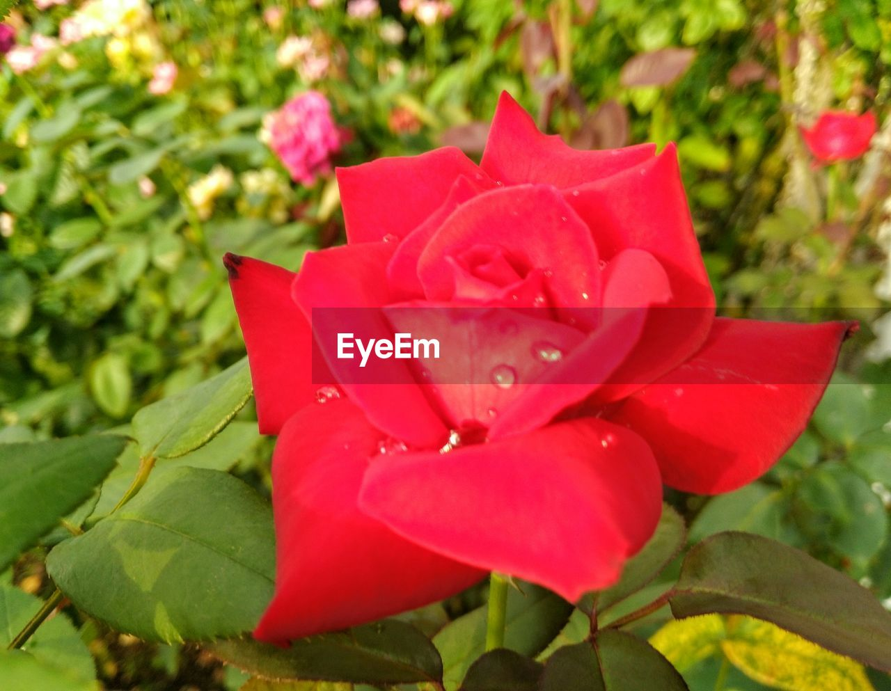 petal, flower, nature, flower head, growth, beauty in nature, plant, fragility, red, no people, drop, rose - flower, freshness, blooming, leaf, day, close-up, outdoors, water, periwinkle
