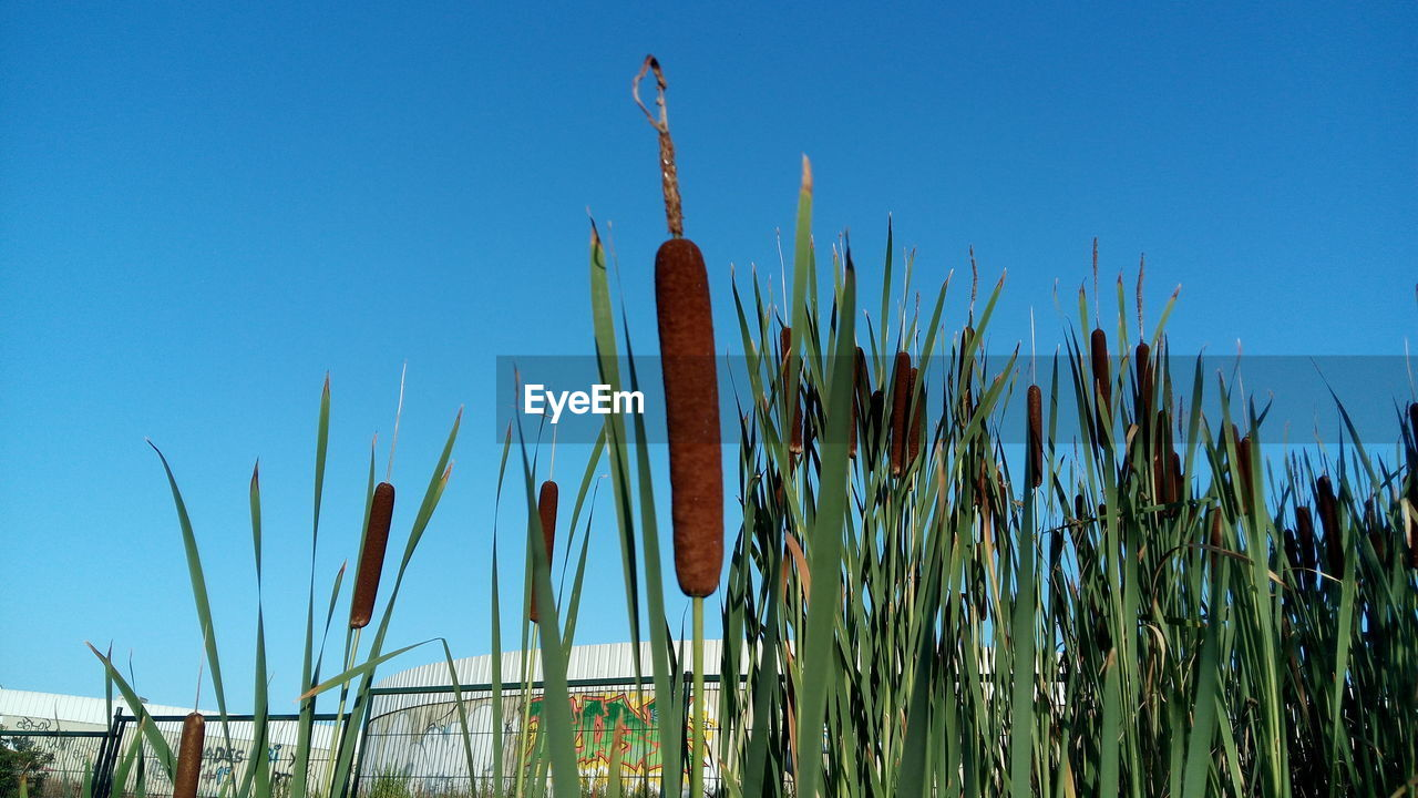 growth, nature, plant, blue, cattail, tranquility, no people, outdoors, day, clear sky, beauty in nature, low angle view, saguaro cactus, sky