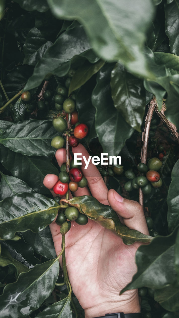 Cropped hand touching fruits on tree