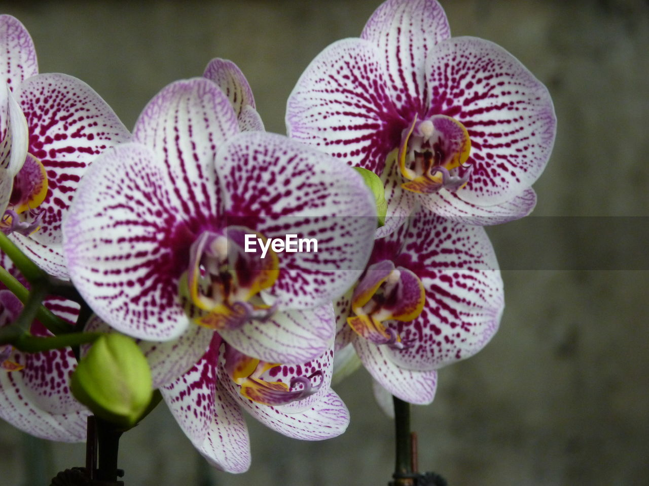 flower, flowering plant, plant, fragility, vulnerability, beauty in nature, close-up, growth, petal, inflorescence, flower head, freshness, focus on foreground, orchid, nature, no people, day, pollen, pink color, outdoors, purple