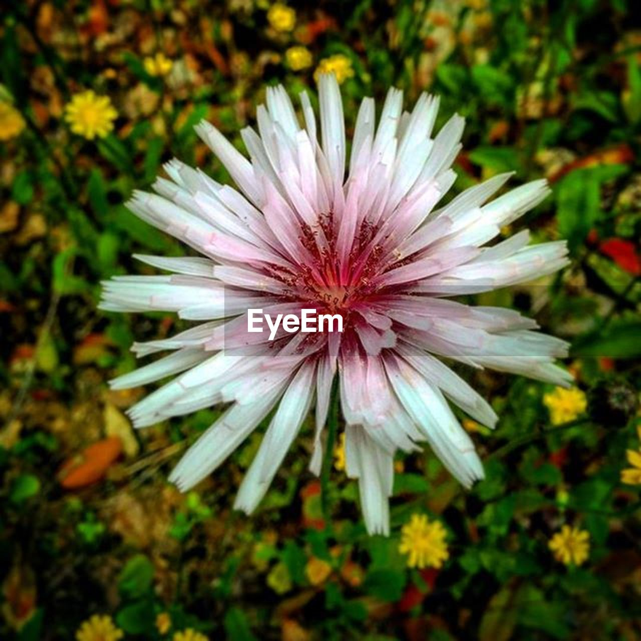 flower, flowering plant, vulnerability, fragility, plant, freshness, petal, inflorescence, flower head, beauty in nature, growth, close-up, focus on foreground, nature, day, no people, land, field, outdoors, pink color, pollen, purple