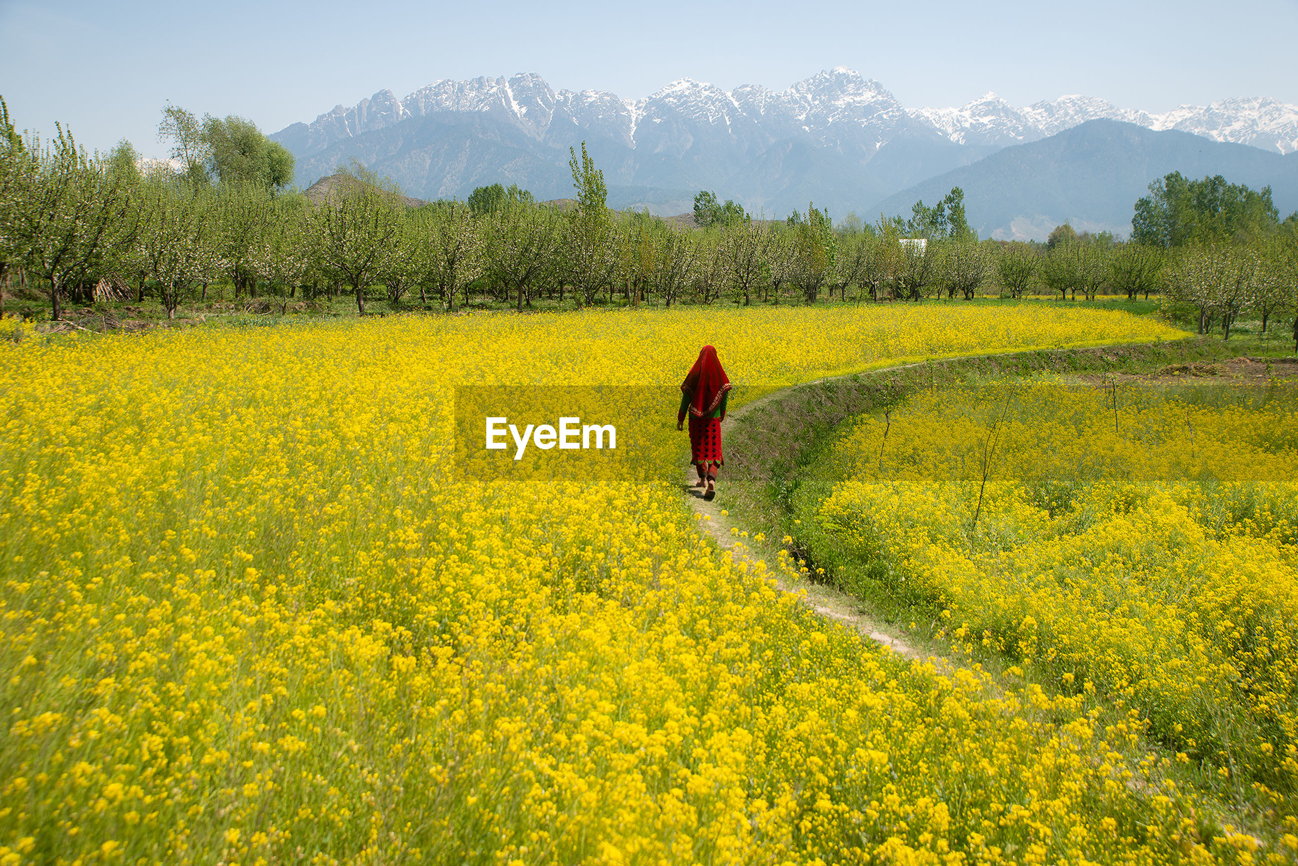 Rear view of woman walking amidst yellow flowering plant