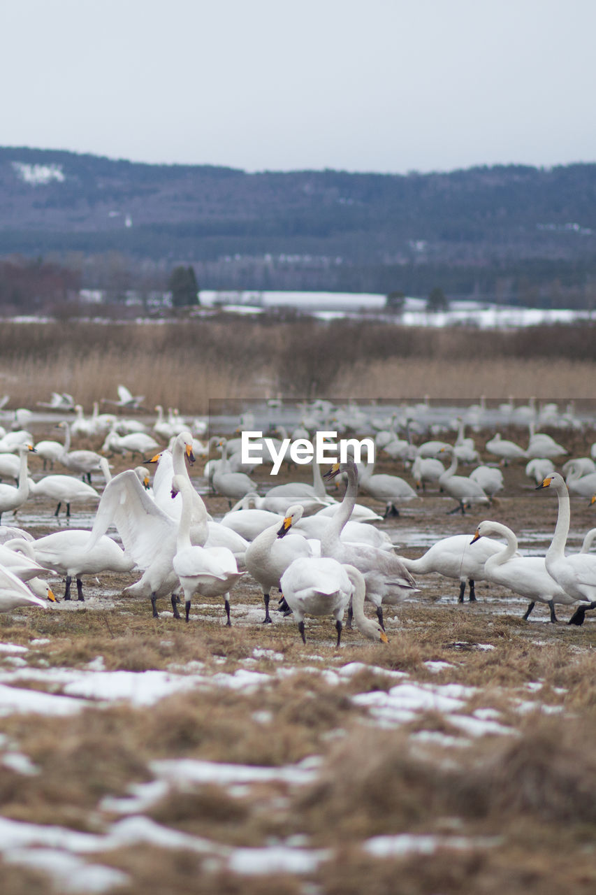 group of animals, animal themes, animal, vertebrate, large group of animals, bird, animals in the wild, animal wildlife, water, day, nature, no people, sky, lake, land, beach, selective focus, white color, non-urban scene, flock of birds