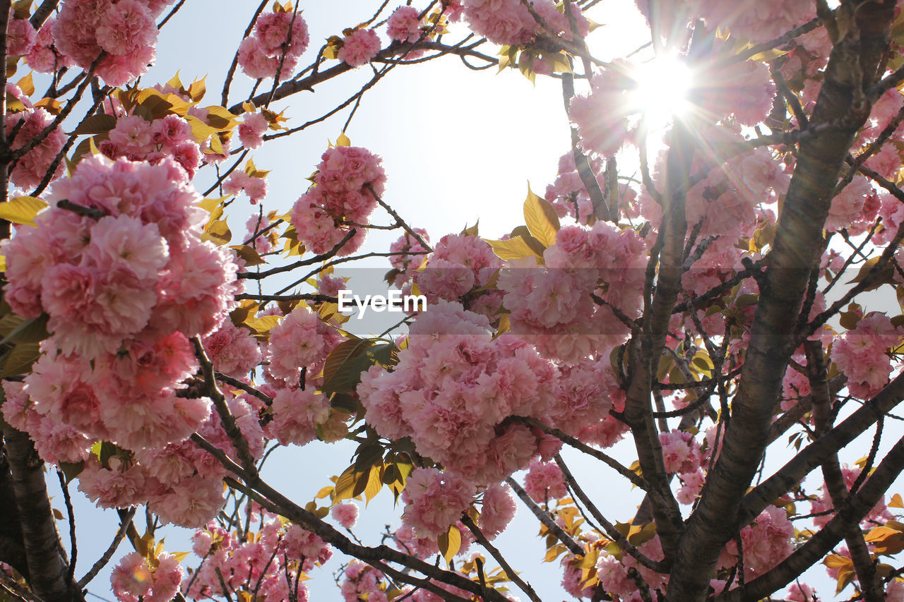 flower, tree, beauty in nature, fragility, growth, blossom, branch, pink color, nature, freshness, springtime, low angle view, no people, day, botany, petal, outdoors, twig, close-up, blooming, flower head, sky
