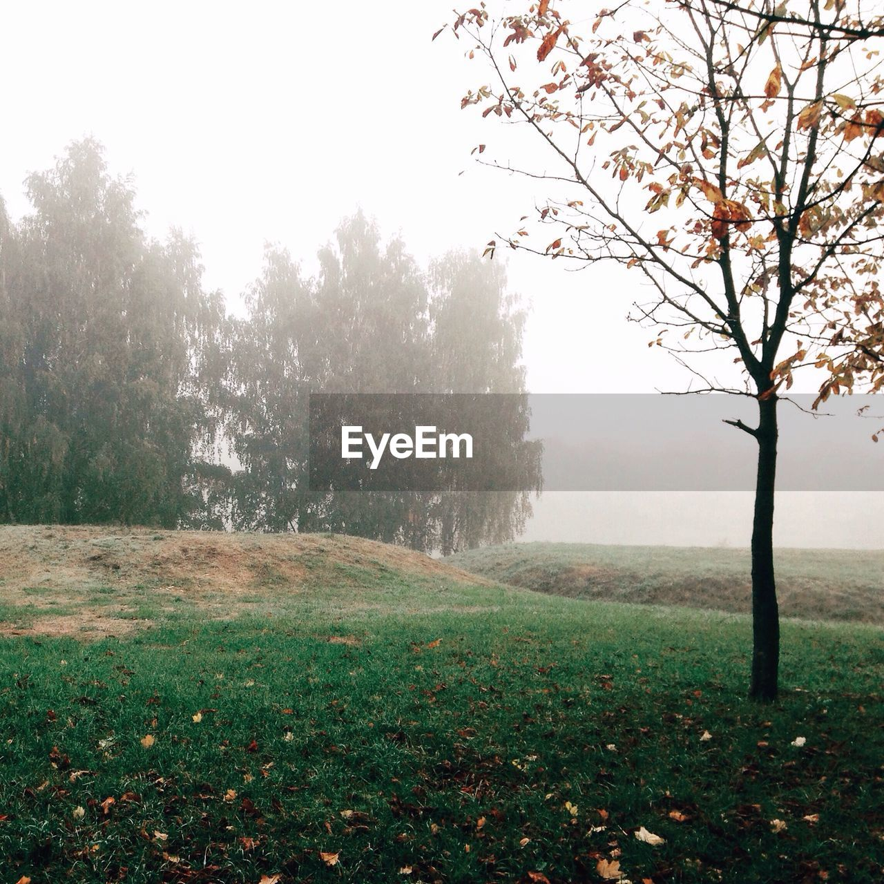 tree, nature, beauty in nature, tranquility, landscape, tranquil scene, grass, scenics, field, fog, day, outdoors, branch, no people, growth, bare tree, sky, freshness