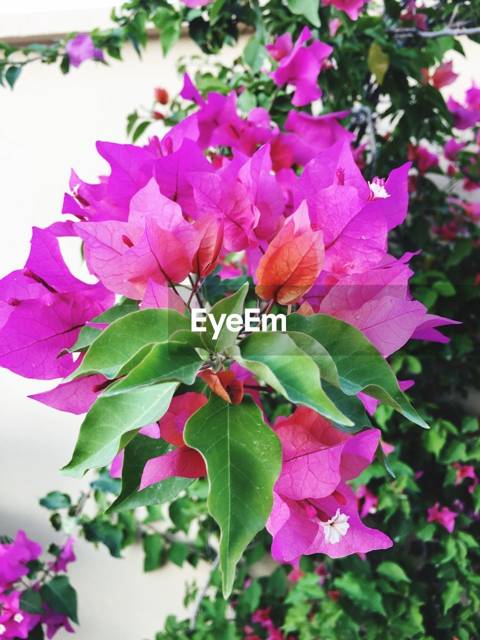 flower, growth, nature, leaf, plant, beauty in nature, petal, fragility, no people, blooming, freshness, bougainvillea, outdoors, close-up, day, flower head