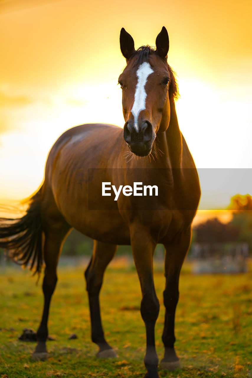 Portrait Of Horse Standing On Field Against Sky During Sunset