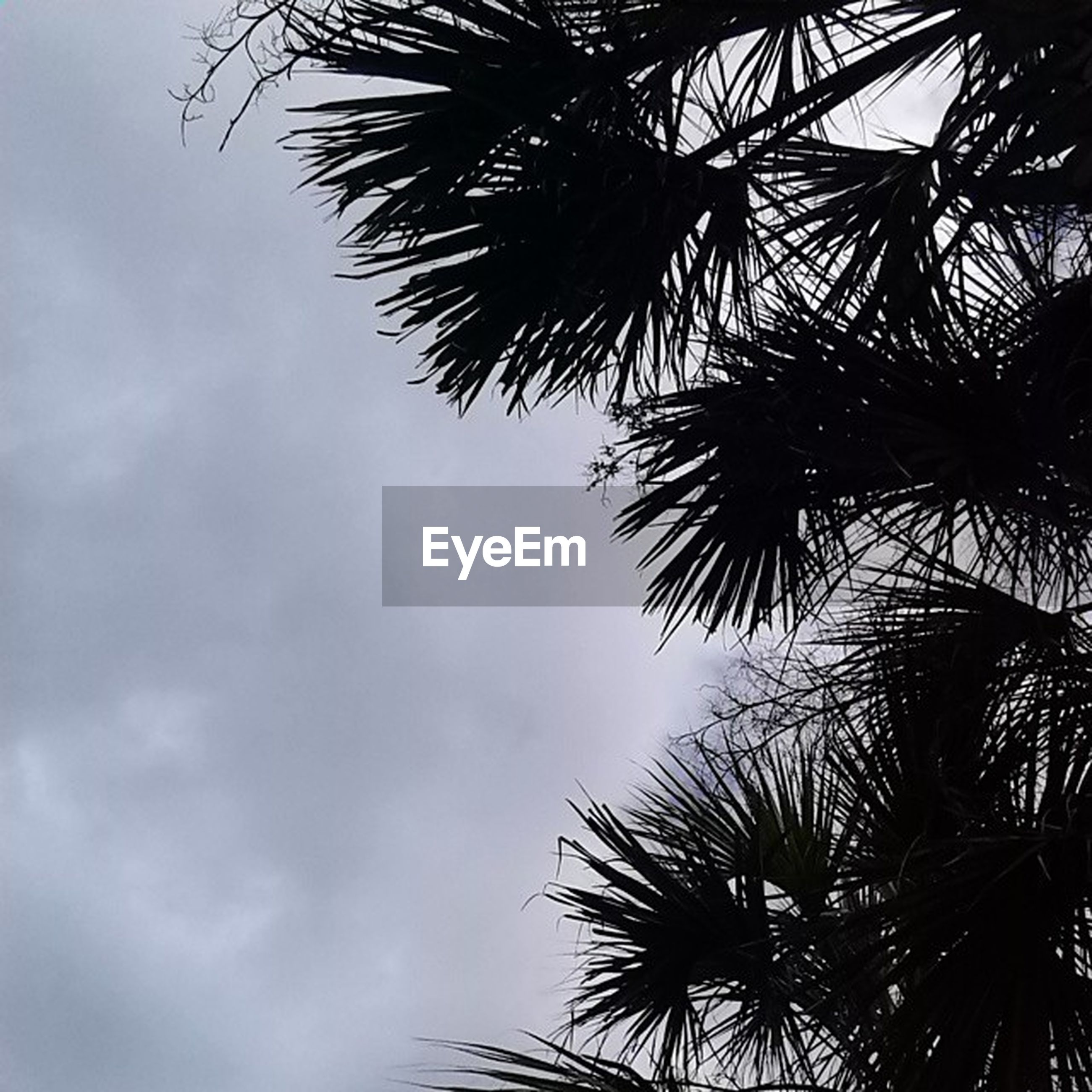 low angle view, palm tree, tree, sky, growth, nature, cloud - sky, tranquility, silhouette, palm leaf, beauty in nature, tall - high, branch, outdoors, day, cloud, leaf, no people, cloudy, tree trunk