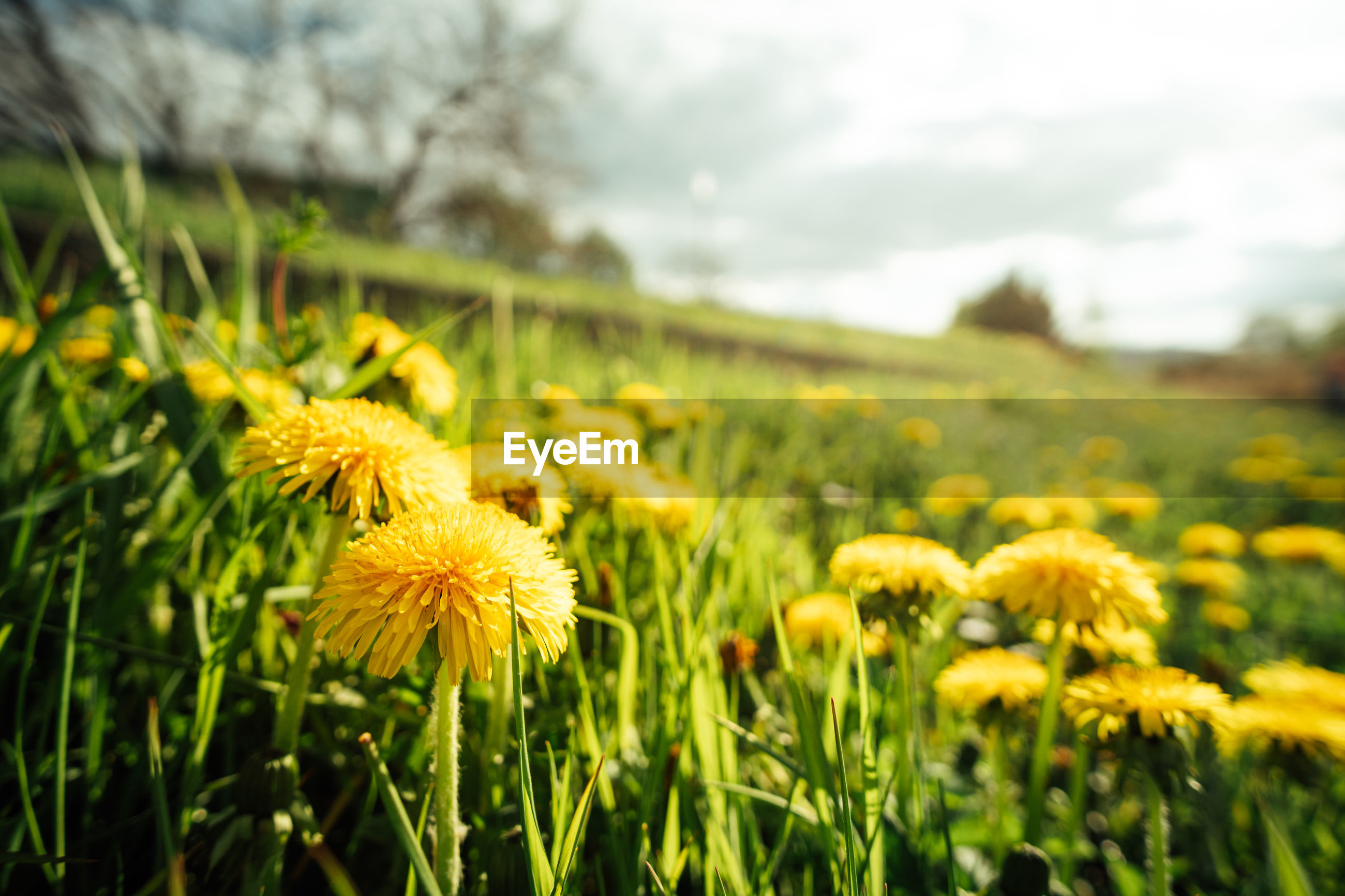 plant, flower, flowering plant, yellow, beauty in nature, nature, field, grass, freshness, meadow, landscape, sky, growth, prairie, land, rural scene, cloud, environment, green, fragility, springtime, no people, flower head, focus on foreground, agriculture, close-up, grassland, lawn, sunlight, outdoors, day, blossom, inflorescence, tranquility, summer, non-urban scene, scenics - nature, dandelion, plain, wildflower, selective focus, crop, vibrant color, farm, tranquil scene, macro photography, botany