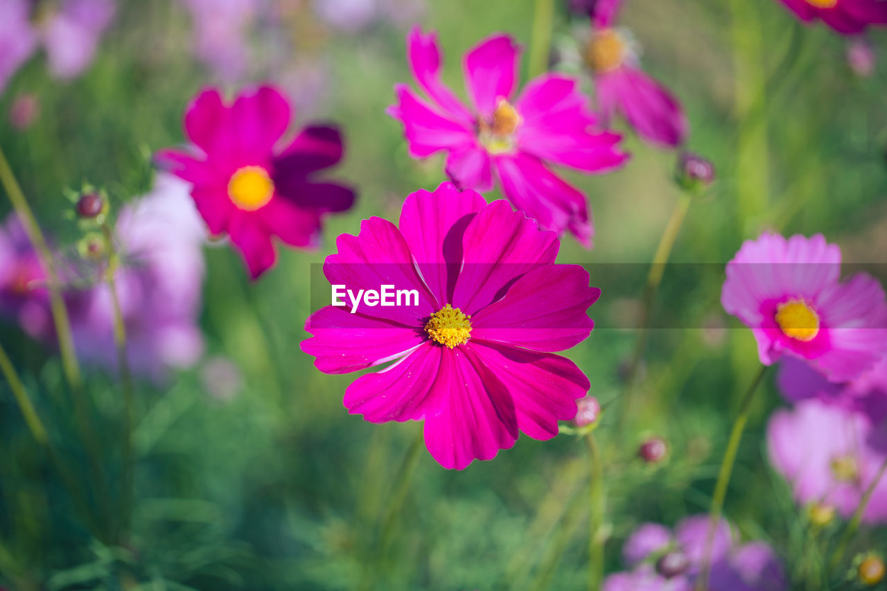 CLOSE-UP OF PINK COSMOS FLOWERS GROWING IN FIELD