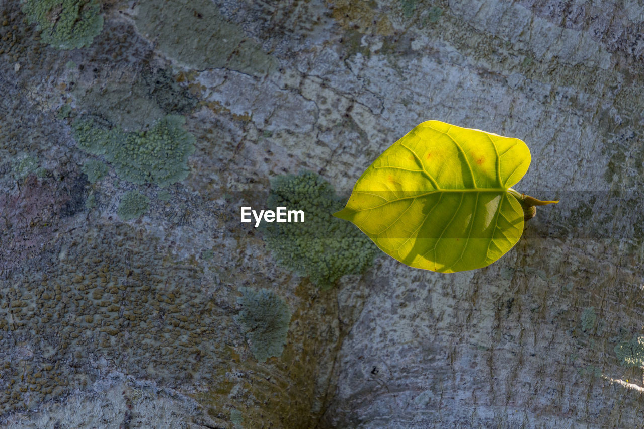 yellow, textured, plant part, leaf, no people, close-up, nature, day, high angle view, plant, outdoors, directly above, fragility, vulnerability, rough, change, single object, autumn, still life, wall - building feature, natural condition, concrete