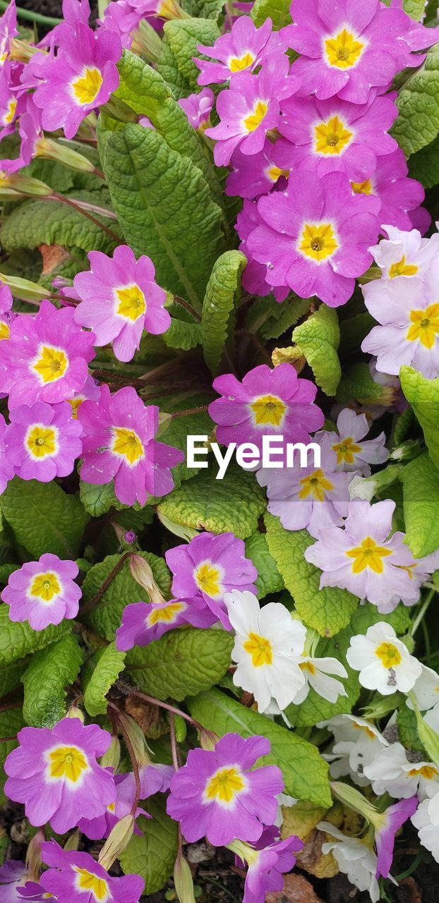 flowering plant, flower, plant, freshness, beauty in nature, vulnerability, fragility, growth, petal, plant part, leaf, nature, close-up, flower head, inflorescence, high angle view, pink color, no people, day, full frame, outdoors, purple, springtime