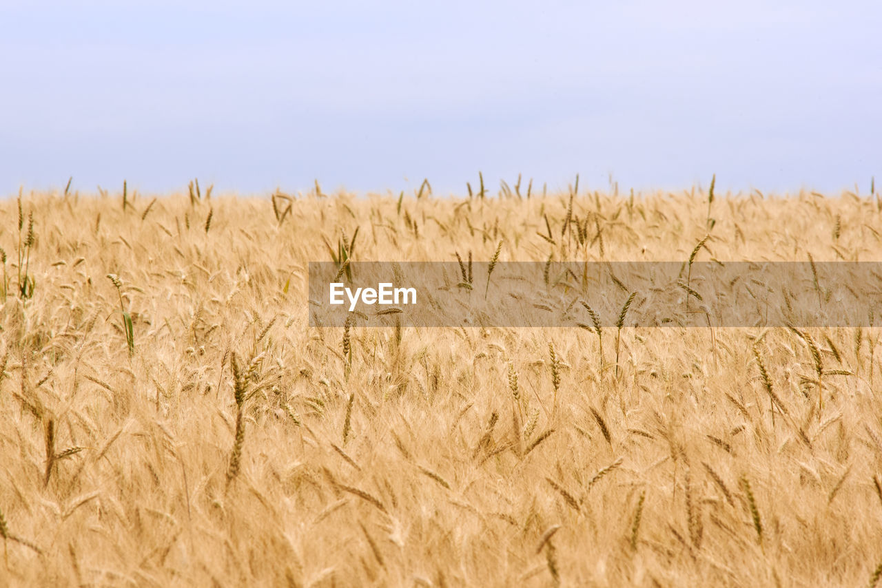 agriculture, field, cereal plant, nature, growth, crop, no people, day, tranquility, wheat, beauty in nature, tranquil scene, rural scene, landscape, outdoors, gold colored, plant, scenics, ear of wheat, sky, close-up