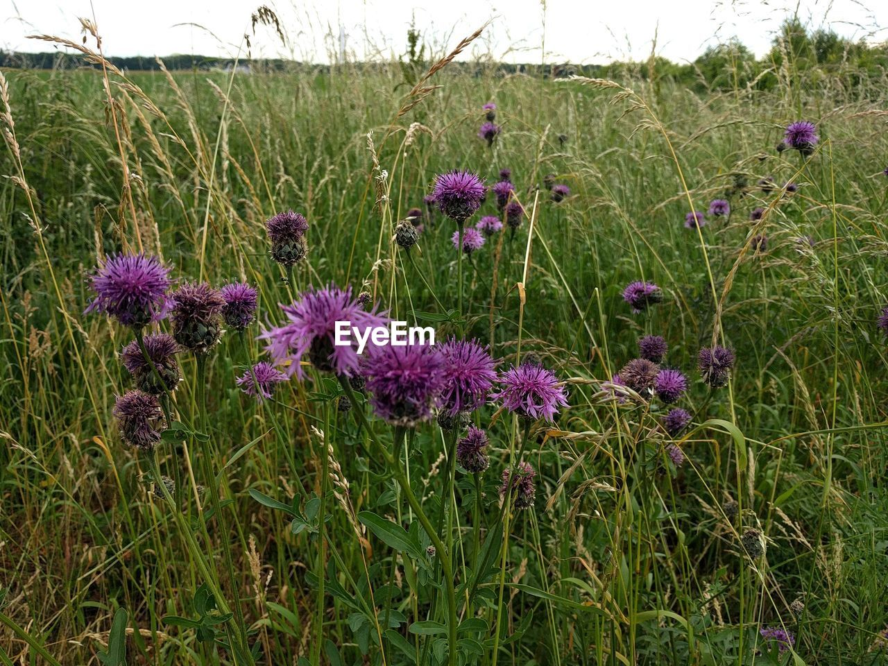 flower, growth, purple, nature, field, plant, grass, beauty in nature, no people, outdoors, blooming, thistle, fragility, freshness, flower head, day