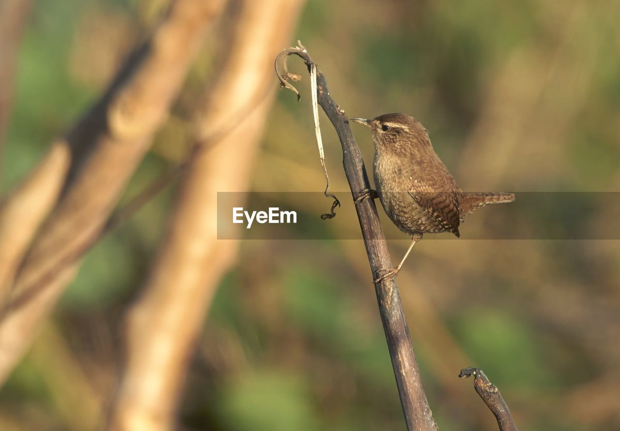 animals in the wild, animal themes, animal wildlife, animal, focus on foreground, perching, bird, vertebrate, one animal, plant, nature, tree, no people, day, branch, outdoors, close-up, twig, sunlight, beauty in nature