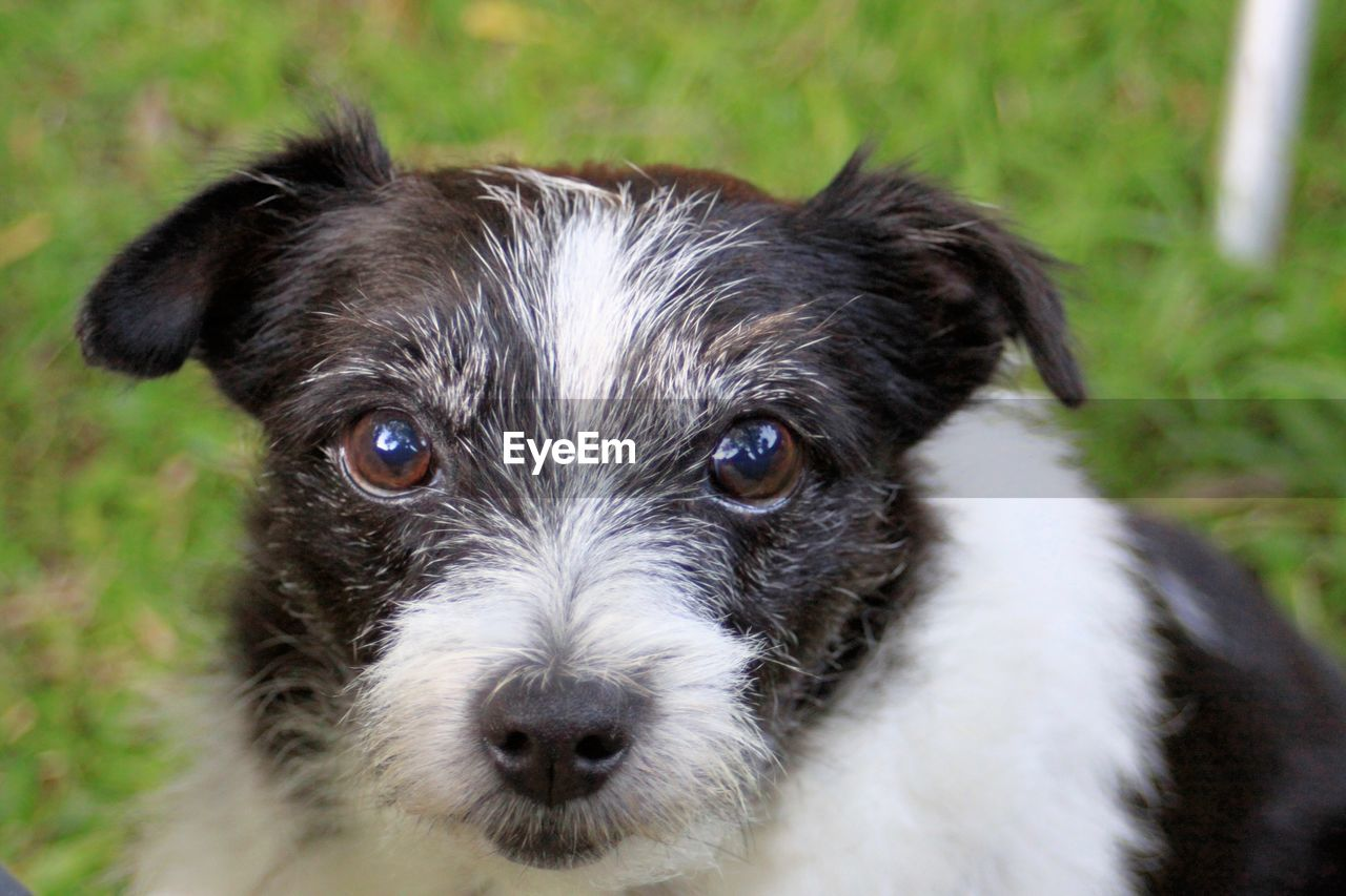 canine, dog, one animal, domestic, pets, domestic animals, mammal, portrait, looking at camera, puppy, young animal, no people, close-up, grass, vertebrate, day, animal body part, shih tzu, small, animal eye