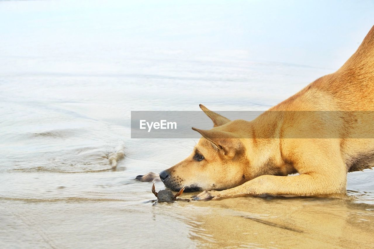 one animal, animal, animal themes, vertebrate, pets, dog, mammal, canine, water, domestic, domestic animals, no people, day, relaxation, nature, side view, brown, outdoors, waterfront