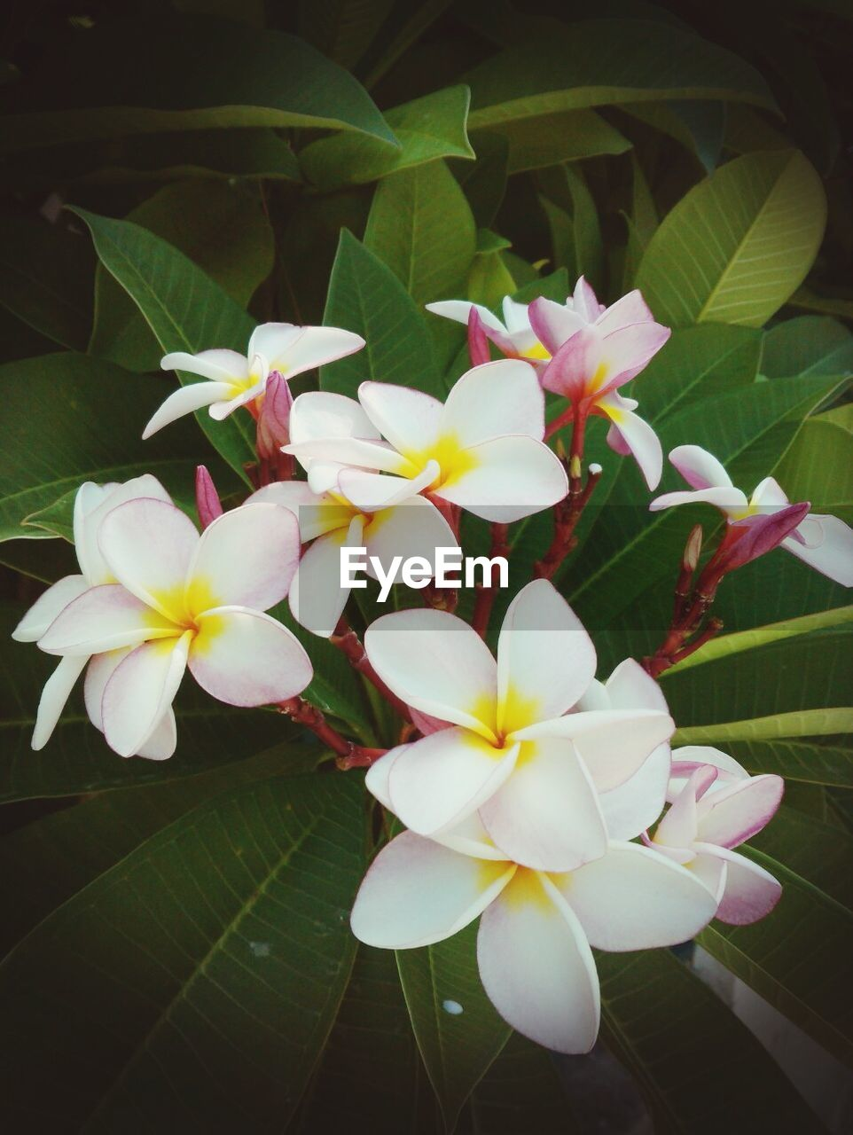 flower, petal, growth, flower head, fragility, beauty in nature, leaf, freshness, nature, blooming, periwinkle, close-up, frangipani, day, plant, no people, outdoors