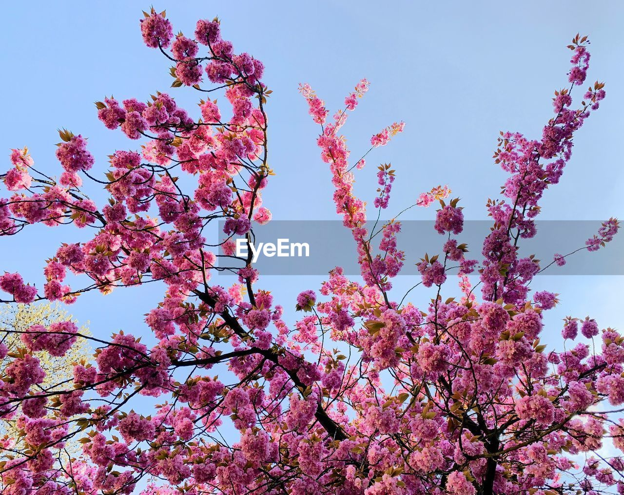 flower, plant, flowering plant, low angle view, sky, beauty in nature, pink color, growth, tree, blossom, fragility, freshness, springtime, branch, nature, day, vulnerability, no people, clear sky, botany, outdoors, cherry blossom, cherry tree, spring, plum blossom