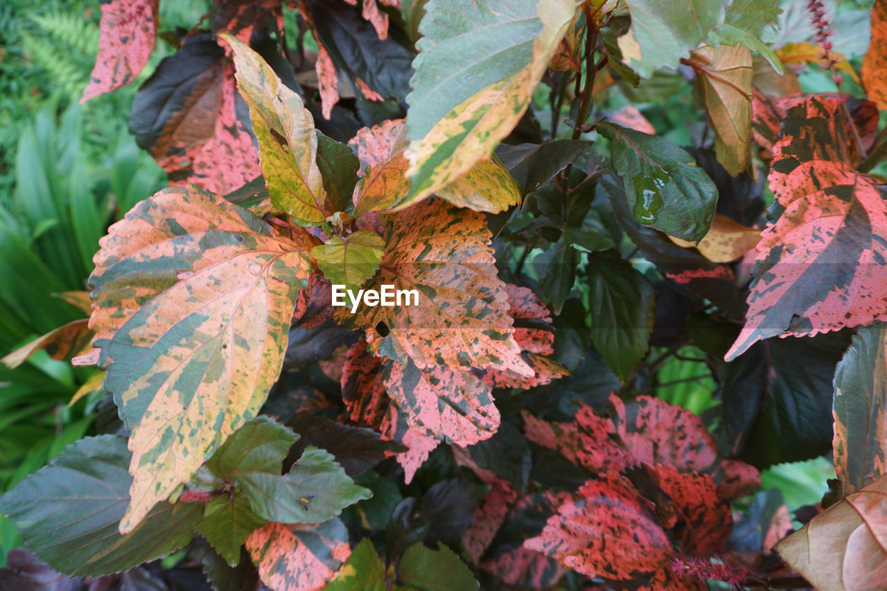 leaf, plant part, beauty in nature, plant, growth, close-up, nature, no people, day, leaves, autumn, green color, change, outdoors, freshness, focus on foreground, leaf vein, full frame, selective focus, tranquility, maple leaf, natural condition