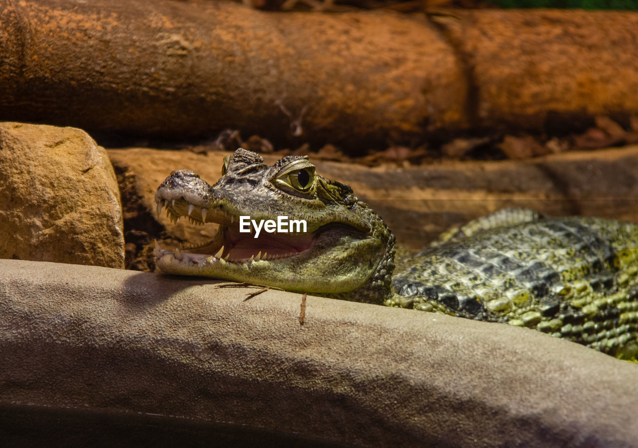 reptile, animals in the wild, animal wildlife, animal, animal themes, one animal, vertebrate, no people, close-up, rock, rock - object, solid, day, nature, focus on foreground, amphibian, sunlight, selective focus, zoo, animal body part, outdoors, animal head, animal scale