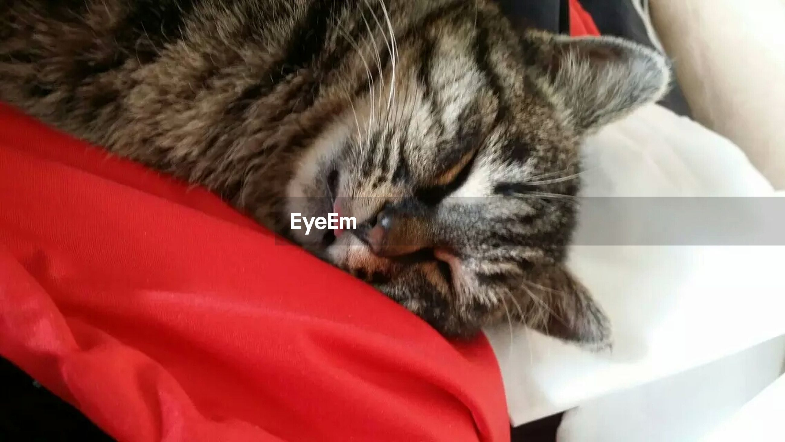 pets, domestic cat, domestic animals, one animal, animal themes, cat, mammal, feline, indoors, relaxation, whisker, close-up, resting, sleeping, lying down, eyes closed, red, animal head, bed, no people