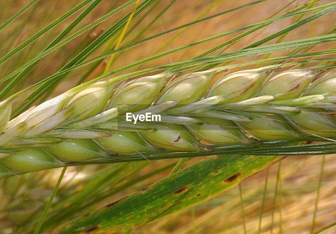 growth, green color, nature, plant, close-up, cereal plant, agriculture, no people, beauty in nature, day, freshness, ear of wheat, grass, outdoors, wheat