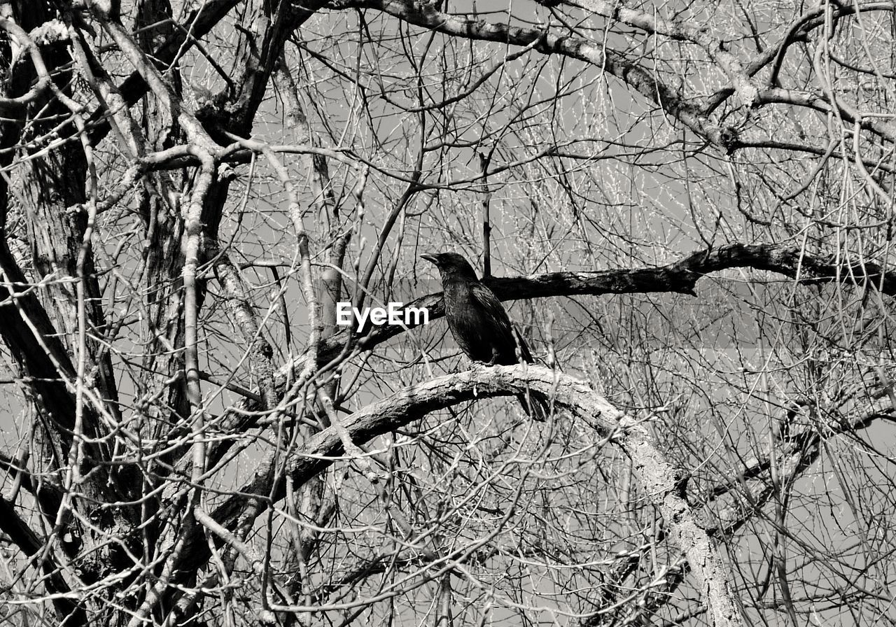 bare tree, bird, animals in the wild, branch, animal themes, one animal, tree, animal wildlife, perching, low angle view, no people, nature, day, outdoors, raven - bird, spread wings, mourning dove